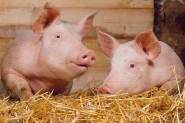 Под Волгоградом построят новый современный свинокомплекс