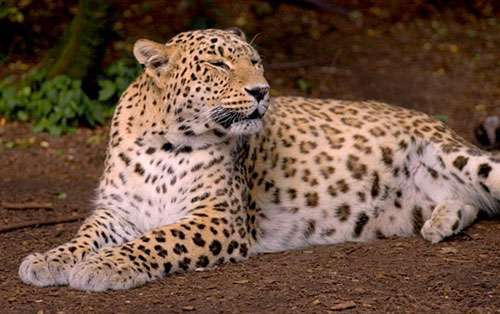 Иранские леопарды появятся в сочинском питомнике