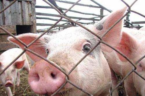Африканская чума свиней распространилась по Волгоградской области