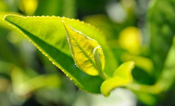 Самый северный чай растёт в Адыгее