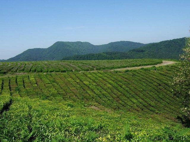 Сбор урожая с чайных плантаций начался в Большом Сочи