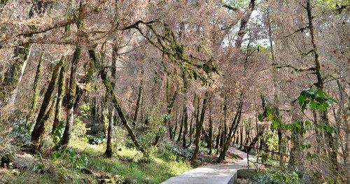 Реликтовые лесные массивы Адыгеи под угрозой из-за итальянской бабочки