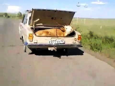 В Астрахани ограничивают вывоз крупного рогатого скота за пределы области