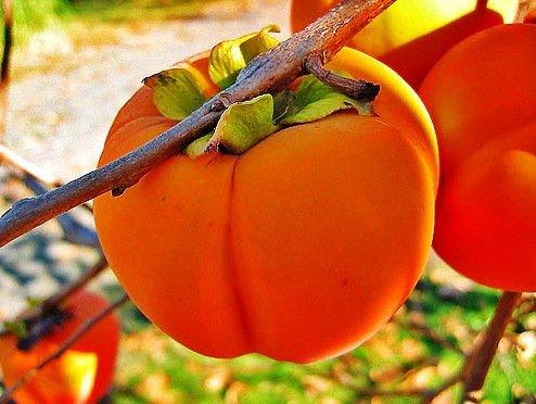 В Сочи на чайных плантациях будут выращивать хурму и цитрусовые