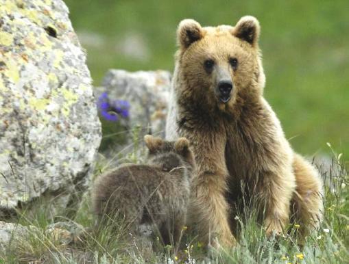 В Кавказском заповеднике медведи нападают на людей