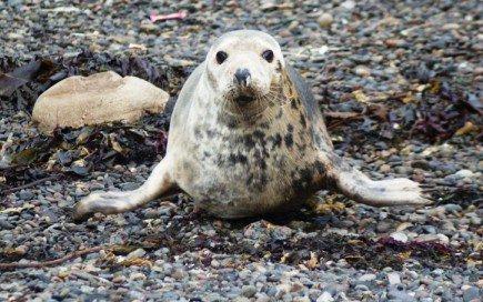 Каспийские тюлени оказались под угрозой исчезновения