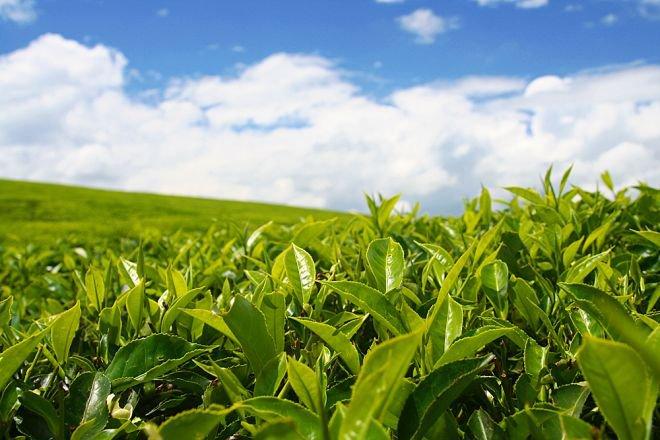 В этом году в Адыгее собрали более трёх тонн самого северного в мире чая