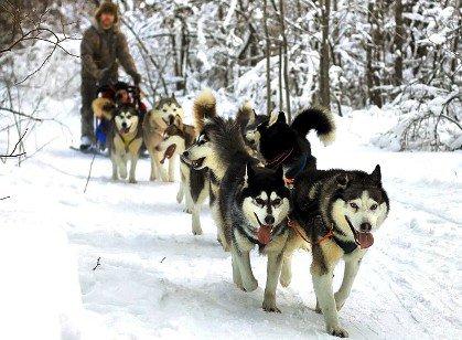 Катание на собачьих упряжках стало приобретать популярность в Красной Поляне
