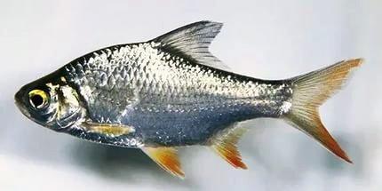 Ученые Астрахани нашли новое применение рыбной чешуе