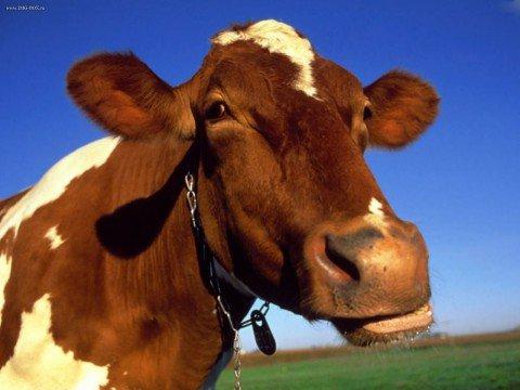 2015 год стал очень успешным для кубанского животноводства
