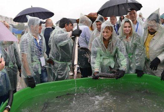 В реку Кубань выпустили осетров по 0,6 - 3 кг каждый