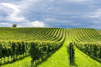 В Краснодарском крае в 2016 году появится 1,2 тысячи гектар новых виноградников
