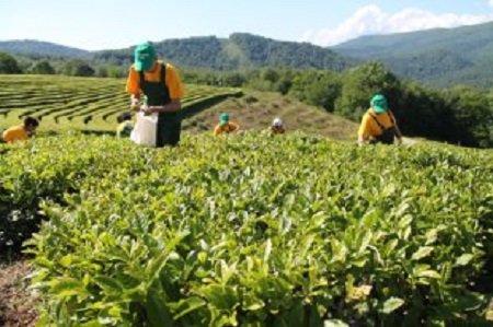 В Краснодарском крае будет действовать закон о поддержке развития чаеводства