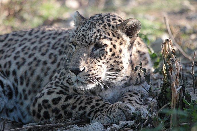 Переднеазиатских леопардов из сочинского питомника впервые выпустили на волю