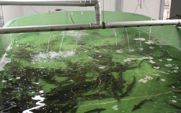 В Адыгее планируют развивать промышленное рыбоводство