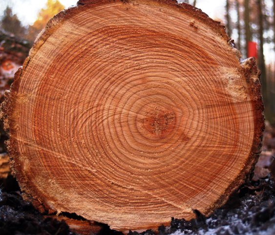 Ценные сорта древесины юга России