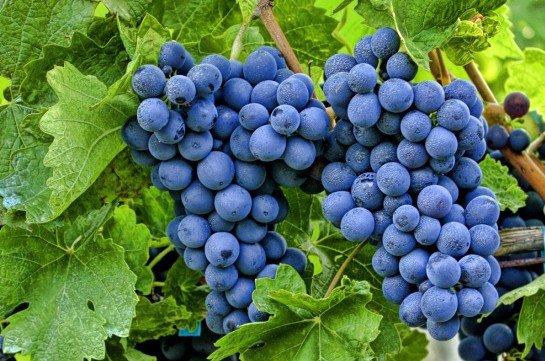 200 тыс. тонн винограда собрали в Темрюкском районе первый раз после 1984 г.
