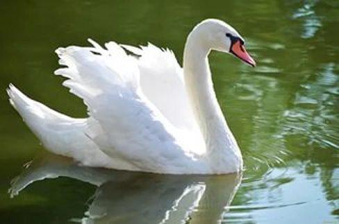 На Кубани собираются отстреливать лебедей