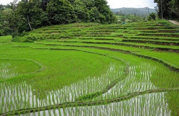 Свыше 1 млн тонн риса планируют собрать с полей Краснодарского края