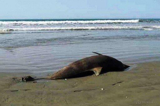 За месяц в Новороссийске обнаружили 72 мертвых дельфина