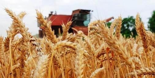 7,2 тыс. комбайнов задействуют на Кубани в уборке озимой пшеницы