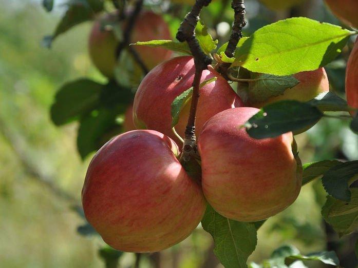 «Ключ-агро» будет выращивать яблоки на Кубани