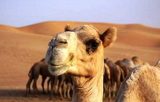Адыгейские студенты предложили лечиться верблюжьим молоком