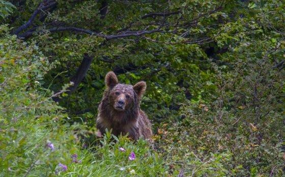 В горах Адыгеи посчитали медведей