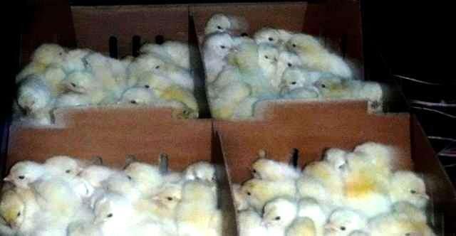 17 тыс. цыплят прошли таможенный досмотр в ростовском аэропорту