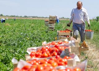 Некондиционные овощи с астраханских полей бесплатно отдадут пенсионерам и многодетным
