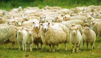 Стадо овец арестовано за долги в Волгоградской области