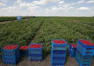 Астраханская область по-прежнему лидирует в производстве овощей и бахчевых