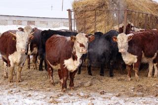 В Калмыкии отчитались о ходе зимовки скота