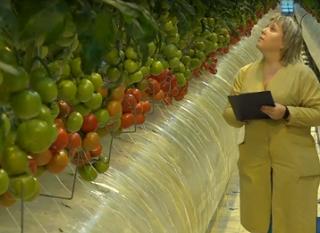 Первый урожай томатов вырастили в Волгограде в теплице пятого поколения