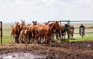 На животноводческих стоянках Калмыкии практикуют рабский труд