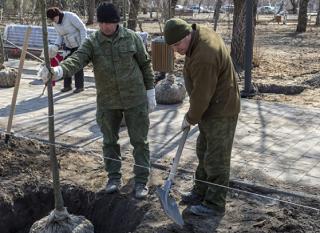 Новые саженцы появятся на месте вырубленных деревьев в Волгограде