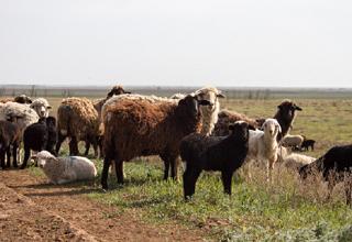 Грант в размере 3 млн рублей получил сельхозкооператив Калмыкии