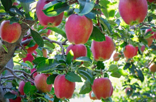 К сбору урожая яблок приступили в Адыгее