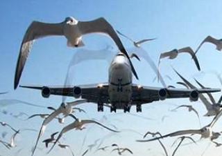 В число опасных по количеству столкновений самолетов  с птицами вошел астраханский аэропорт