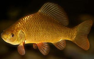 О золотом карасе говорили астраханские рыбаки