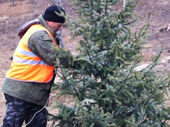 500 хвойных деревьев высадят в ЦПКиО Волгограда