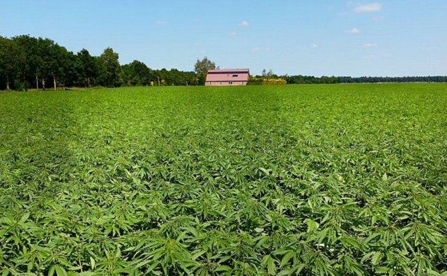 В Ростовской области появилась первая легальная конопляная ферма