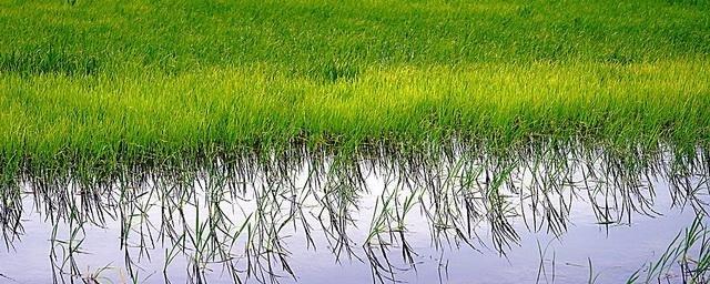 В Адыгее увеличат площади посева риса до 12 тыс. га