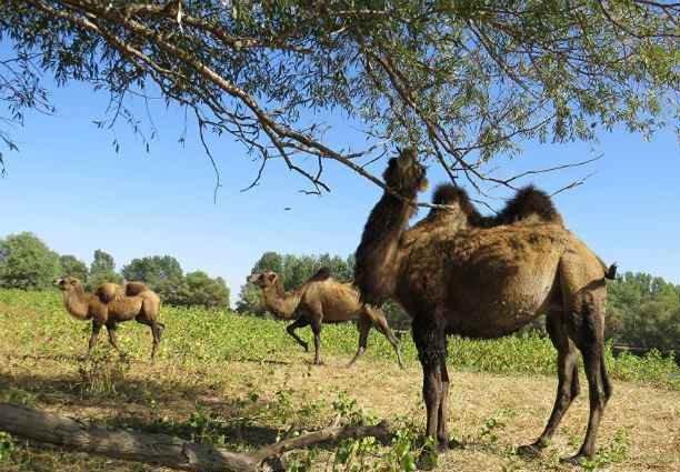 Бесхозное стадо верблюдов держит в страхе жителей астраханских сел