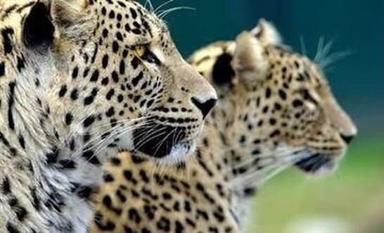 В Северной Осетии выпустят в природу леопардов из Сочи
