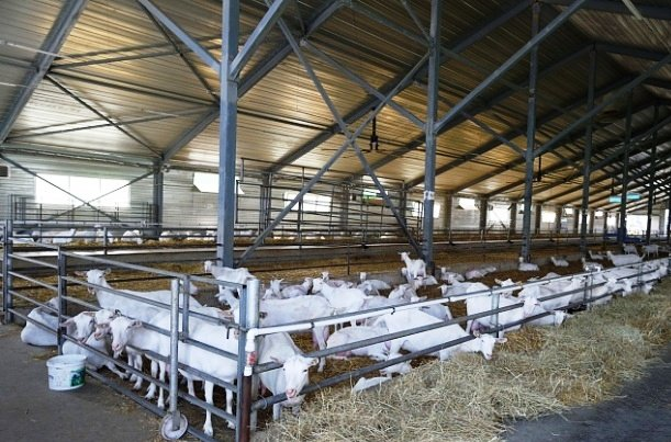 Выпуск продуктов из козьего молока наладили в Адыгее