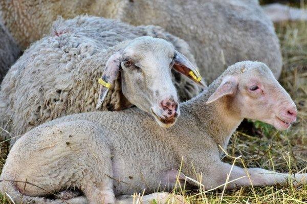 Бескормица привела к массовому падежу скота в Калмыкии