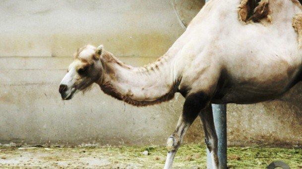 Фермер из Калмыкии выращивает верблюдов