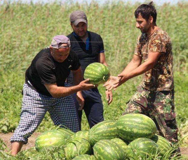 В Астрахани раньше срока поспели арбузы