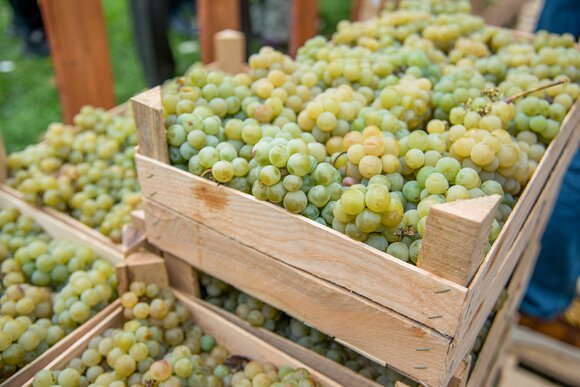 13 тыс. га виноградников пострадали на Кубани из-за непогоды